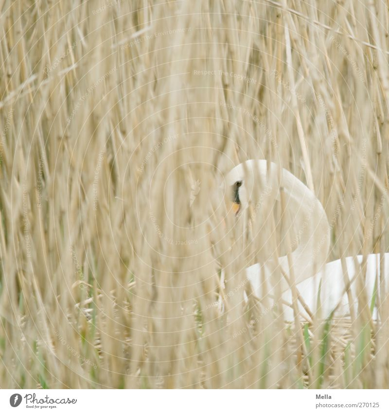 I got my eye on you! Environment Nature Plant Animal Grass Common Reed Blade of grass Wild animal Swan Nest Incubating 1 Observe Looking Wait Natural Protection