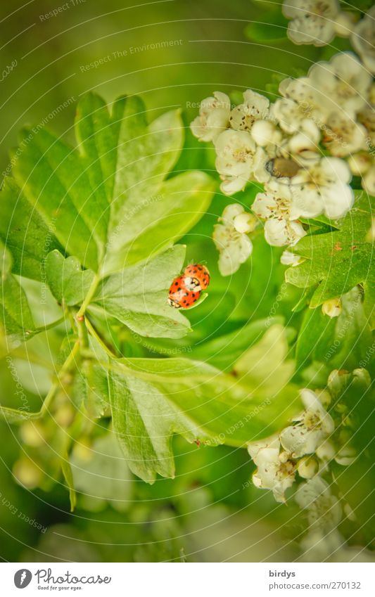 coitus Nature Plant Animal Spring Leaf Blossom Wild plant Hawthorn Ladybird 2 Pair of animals Touch Authentic Fragrance Natural Beautiful Green Red White Happy