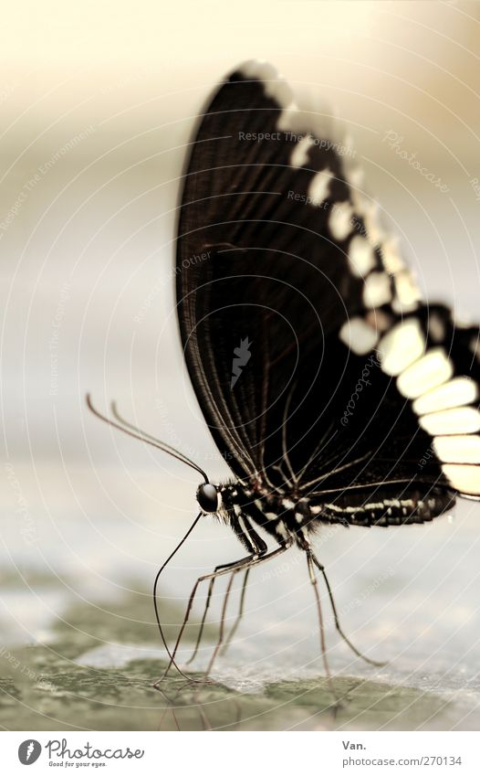 Mrs. Butterfly, née Caterpillar Nature Animal Water Wild animal Insect Feeler Legs Eyes Wing 1 Stone Drinking Wet Black White Colour photo Subdued colour