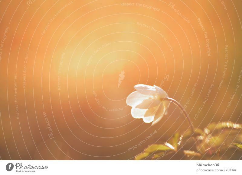 Nature White Plant Flower Loneliness Yellow Movement Spring Blossom Bright Moody Gold Natural Illuminate Romance Beautiful weather