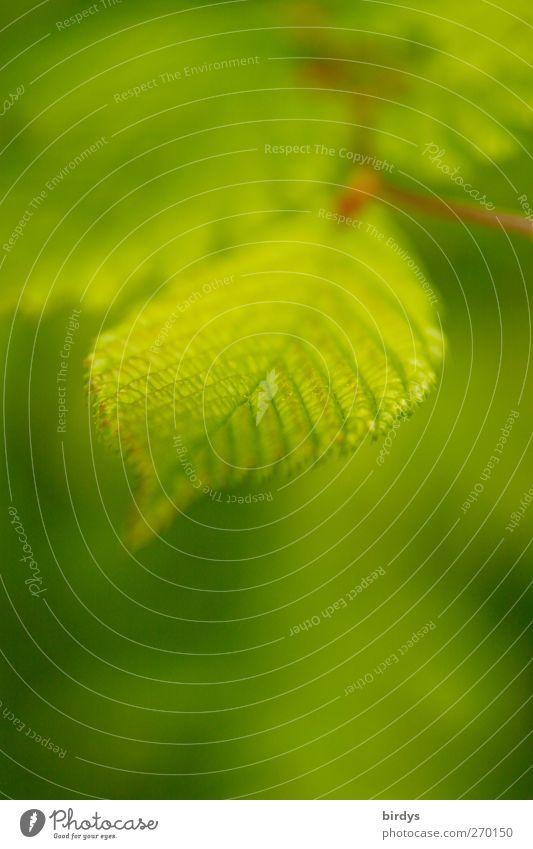 Nature Green Beautiful Plant Leaf Spring Fresh Esthetic Fragrance Foliage plant Rachis Leaf green Wild plant Beech leaf