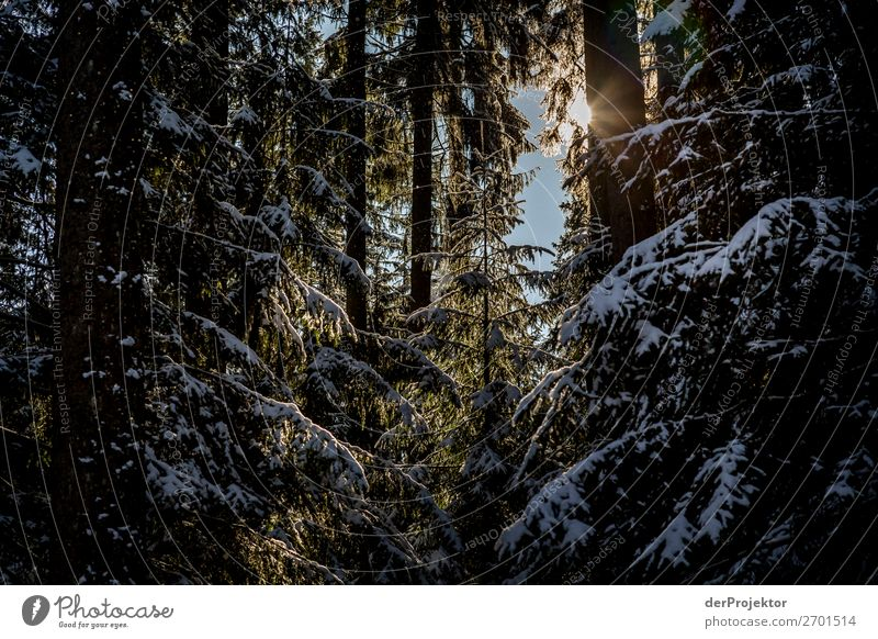 Tentative sunbeams in the winterly coniferous forest Vacation & Travel Tourism Trip Adventure Far-off places Freedom Winter vacation Mountain Hiking Environment