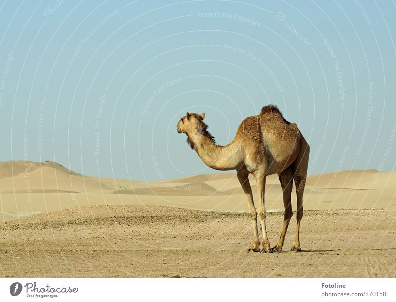 Nature Summer Animal Environment Landscape Warmth Sand Bright Earth Natural Elements Desert Pelt Hot Mammal Farm animal