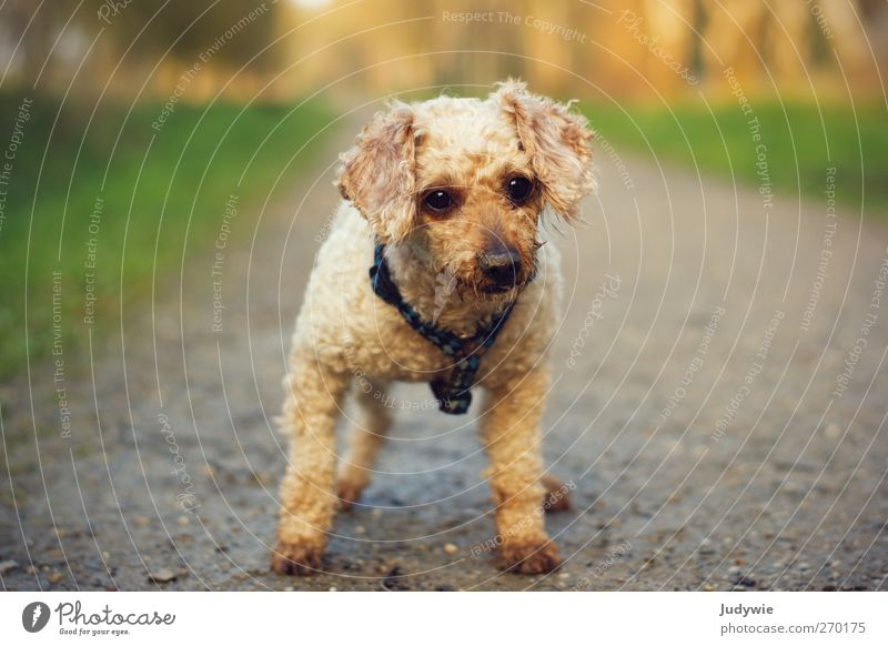 Dog Animal Lanes & trails Small Wait Cute Observe Curiosity Animal face Pet Interest Patient Poodle Watchdog Walk the dog