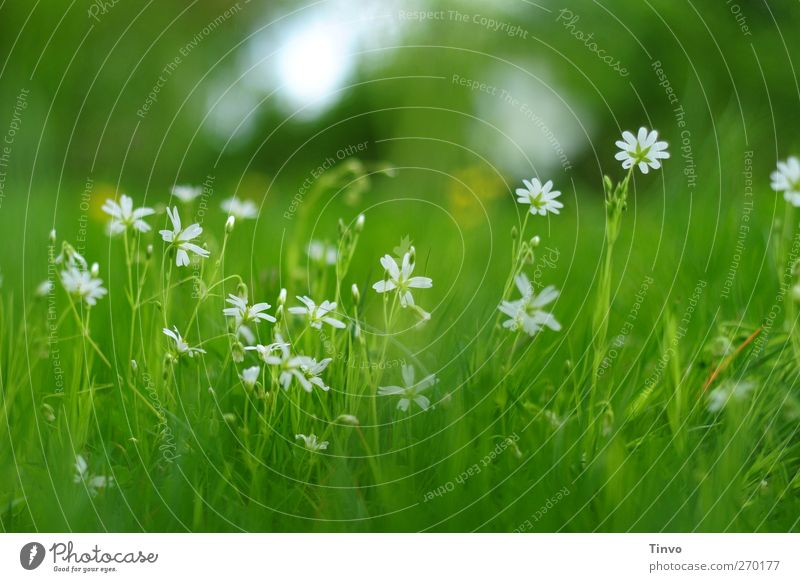 Nature White Green Plant Flower Environment Meadow Grass Spring Blossom Fresh Blossoming Delicate Light green Green pastures