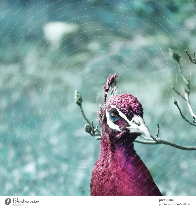 Nature Animal Eyes Meadow Bird Park Pink Wild animal Elegant Pelt Violet Animal face Turquoise Beak Pride Twigs and branches