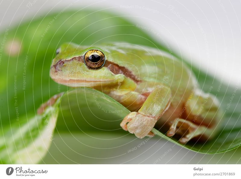 Green frog with bulging eyes golden Environment Nature Plant Animal Tree Leaf Pet Sit Small Funny Wet Slimy White Power Colour amphibian wildlife Toad