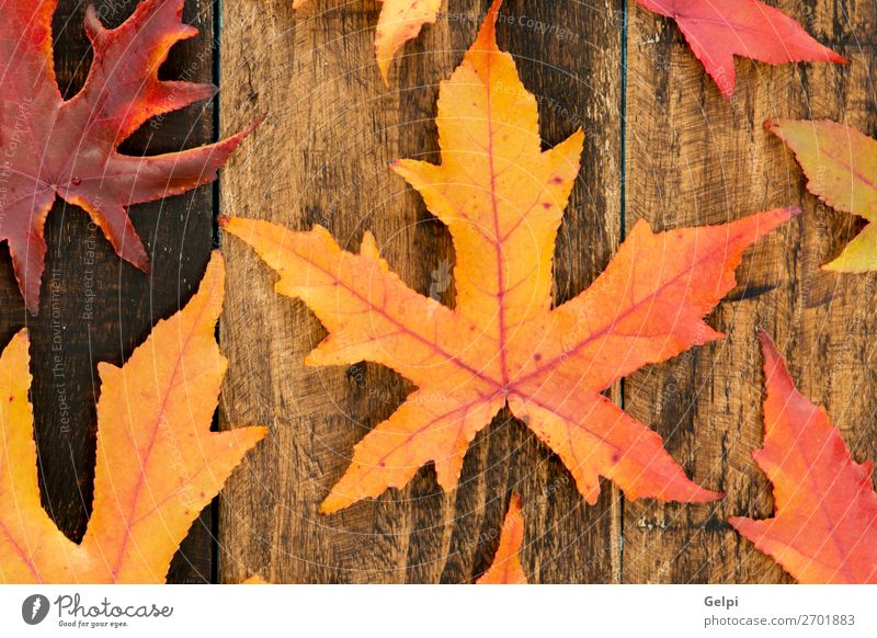 Colors from the autumn Environment Nature Plant Autumn Climate Tree Leaf Forest Wood Bright Natural Brown Yellow Gold Red Colour fall Seasons orange maple Veins
