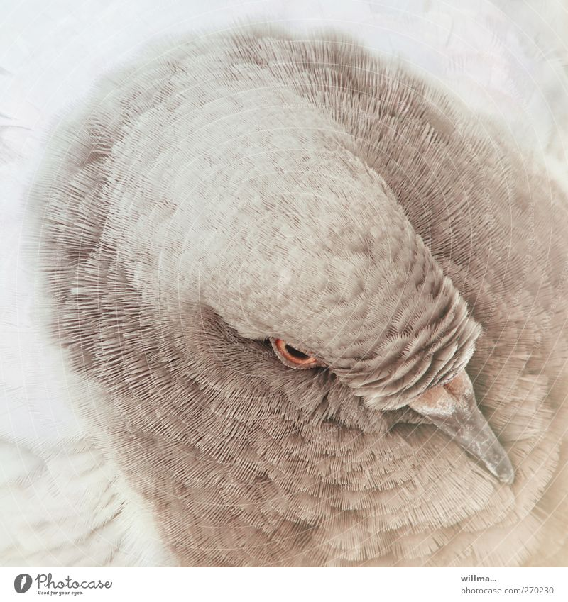 deaf richard Animal Bird Pigeon Head Feather Plumed Beak 1 Brown White Colour photo Exterior shot Bird's-eye view Animal portrait