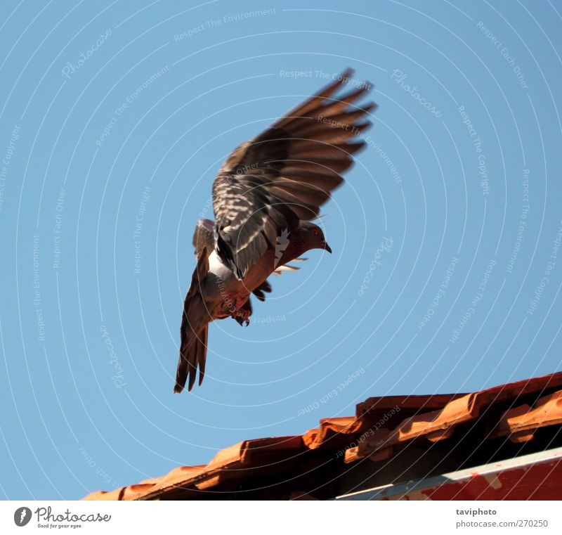 landing pigeon Sky Nature Beautiful Colour Animal Movement Air Bird Flying Wild animal Elegant Cloudless sky Pigeon Effort Landing