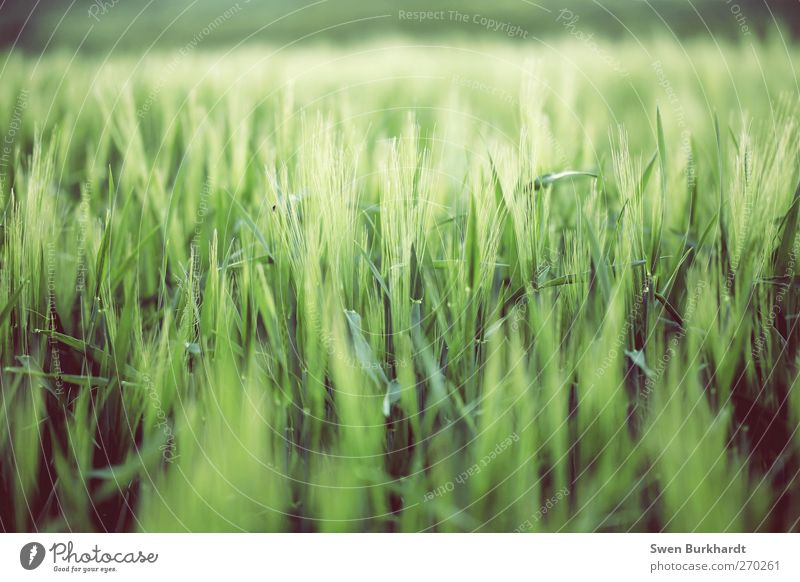 Nature Green Beautiful Plant Summer Leaf Environment Landscape Nutrition Food Spring Horizon Field Grain Agriculture Ear of corn