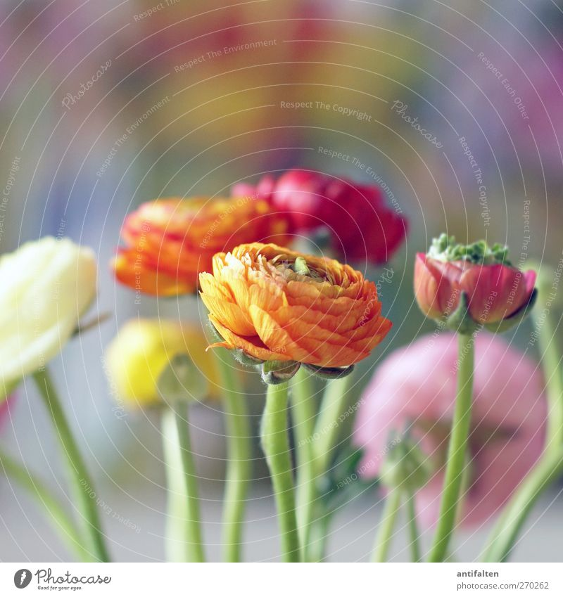 beautifully colorful Plant Spring Summer Flower Leaf Blossom Buttercup Decoration Bouquet Image Esthetic Positive Multicoloured Yellow Orange Pink Red Joy