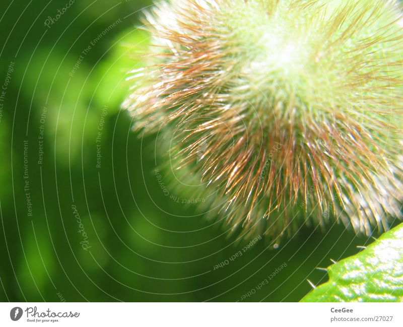 peony bulb Peony Bulb Blossom Plant Green Round Flower Nature Close-up Sphere Thorn Hair and hairstyles