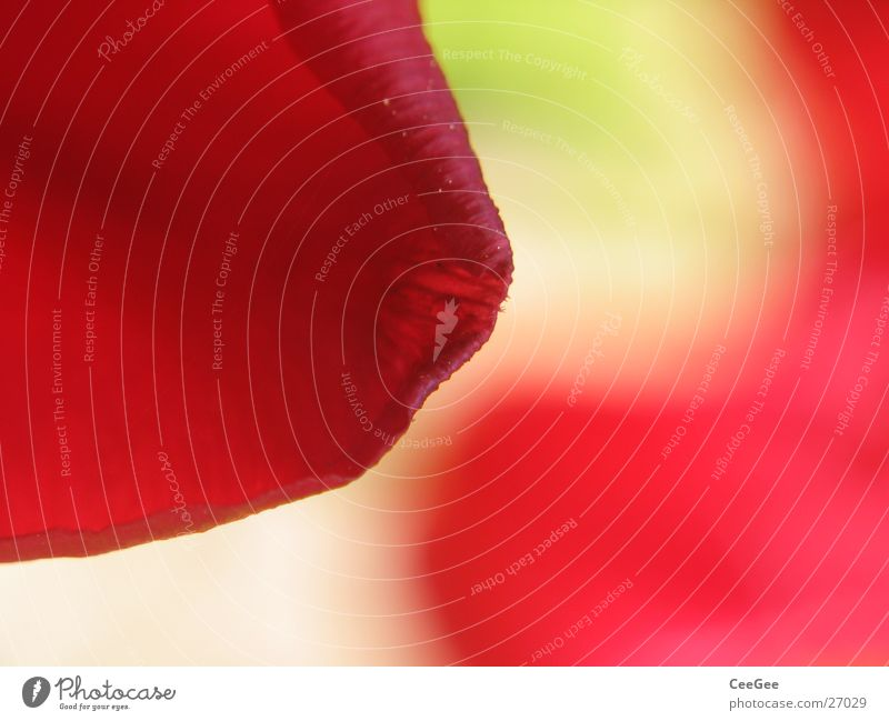 tulip Tulip Blossom Plant Green Red Blur Reflection Mirror image Flower Leaf Soft Progress Nature Close-up Smooth