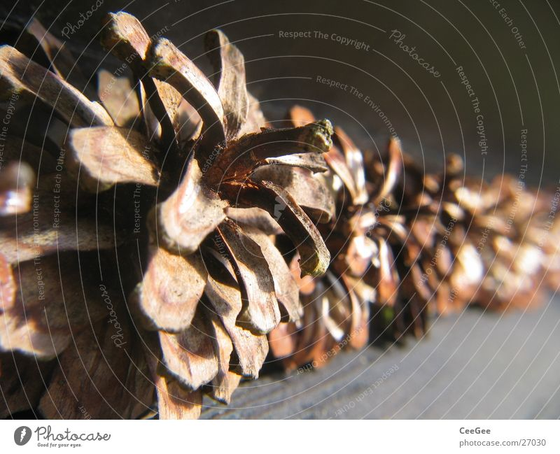 tenons Brown Cone Pine Row Close-up Macro (Extreme close-up) Pine cone Shallow depth of field Deserted