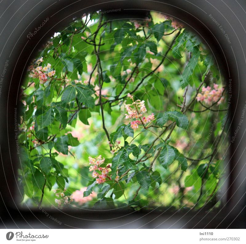 View through the window on blossoming chestnut tree Nature Plant Sunlight Spring Beautiful weather Tree Leaf Blossom Chestnut tree Park Ruin Window Blossoming