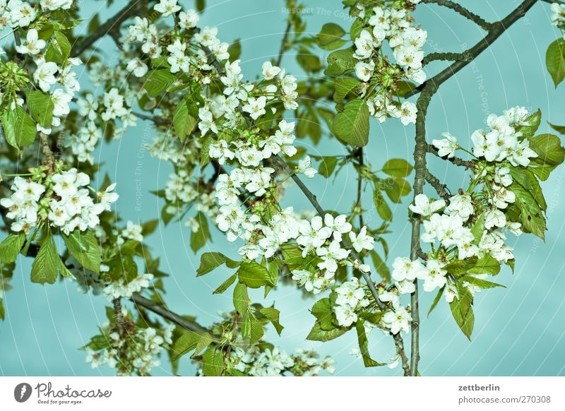 Flashed cherry blossoms Vacation & Travel Trip Adventure Summer Garden Environment Nature Plant Spring Climate Climate change Weather Beautiful weather Tree
