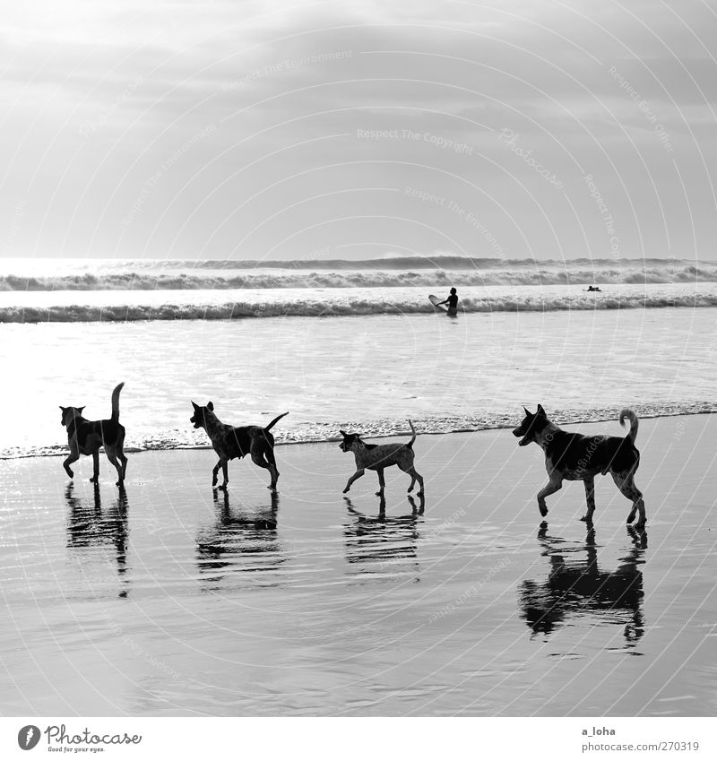 On the dog come Nature Landscape Sand Water Sky Horizon Summer Beautiful weather Waves Coast Beach Ocean Animal Pet Dog 4 Group of animals Pack Animal family