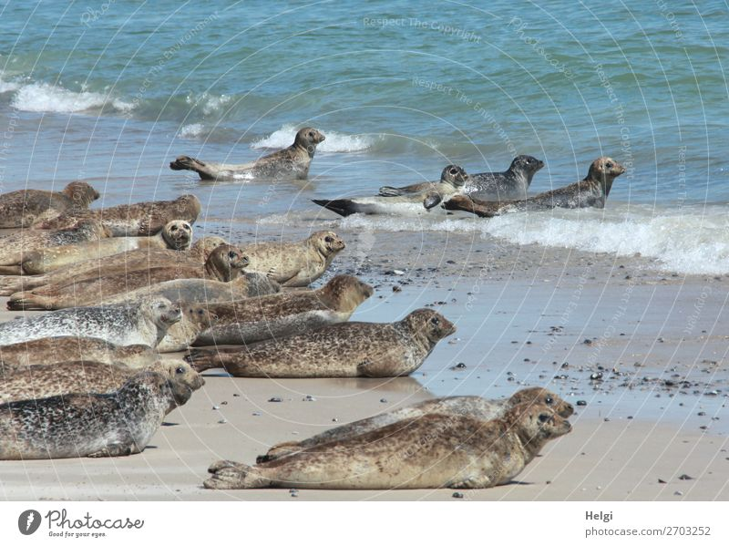 many grey seals lie on the beach and in the water on the dune of Helgoland Vacation & Travel Summer Environment Nature Animal Water Beautiful weather Coast