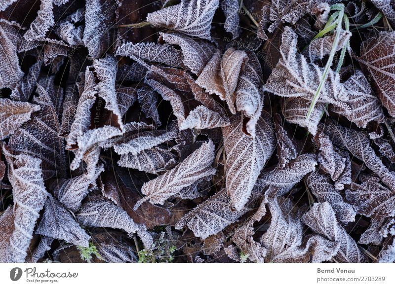 frozen foliage Autumn Winter Plant Under Gray Death leaves Leaf Frozen Cold Ice Gloomy Limp Fallen Rachis Forest Tree Colour photo Exterior shot Close-up