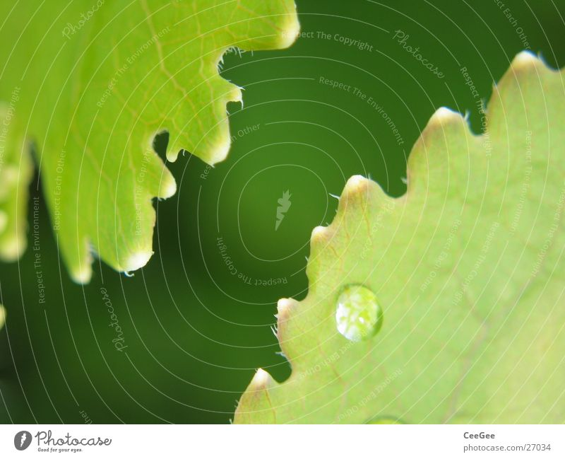 cogwheel blades Plant Flower Leaf Green Adequate Nature Macro (Extreme close-up) Close-up Drops of water Water Rain Rope snap serrated Prongs