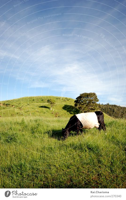 Animal Landscape Meadow Grass Cow