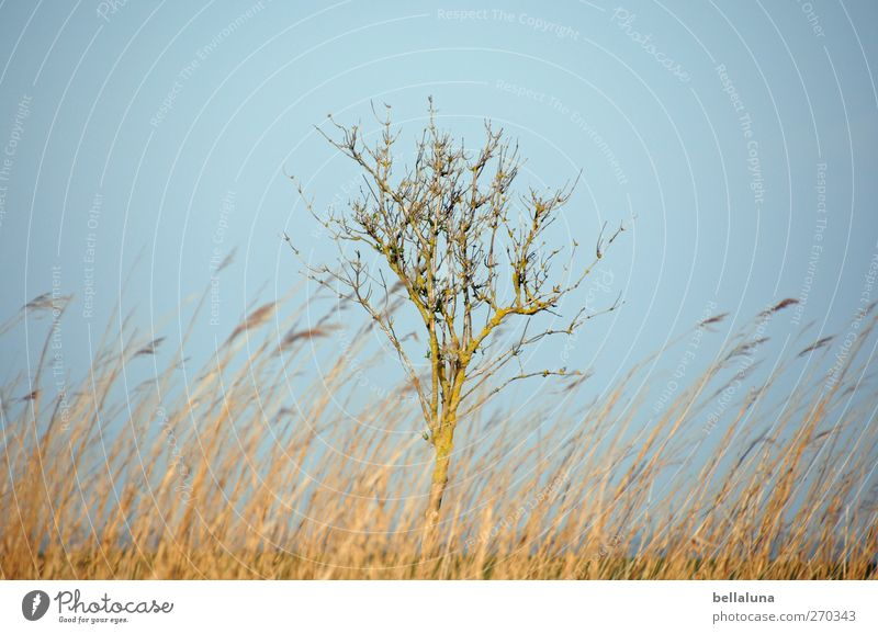 Hiddensee | Loner Environment Nature Landscape Plant Sky Cloudless sky Spring Beautiful weather Tree Grass Bushes Wild plant Coast Baltic Sea Marsh grass
