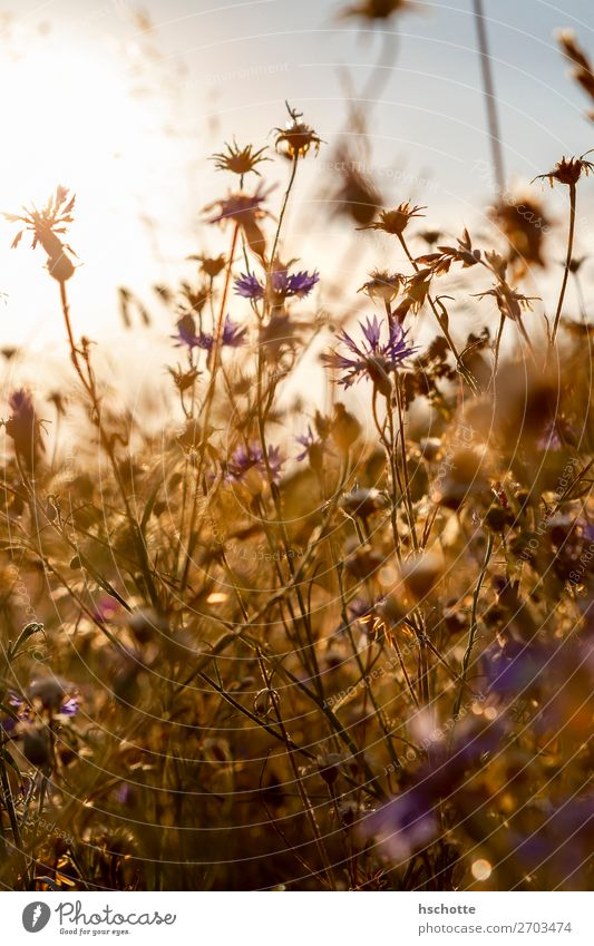 Cornflowers against the light Environment Nature Landscape Plant Sun Summer Autumn Beautiful weather Warmth Flower Grass Blossom Wild plant Meadow Field Yellow