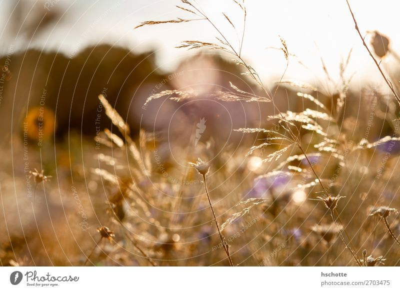 Wild flowers and grasses in golden autumn Environment Nature Landscape Plant Sun Summer Autumn Climate Beautiful weather Warmth Flower Grass Blossom Wild plant