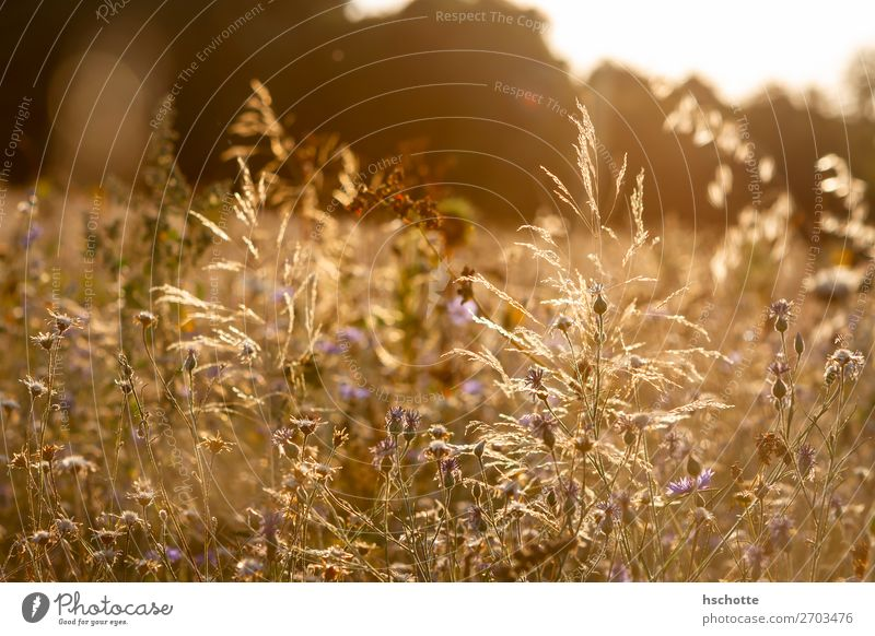 Wildflower meadow in the golden afternoon sun Environment Nature Landscape Plant Sun Summer Autumn Climate Beautiful weather Warmth Flower Grass Blossom