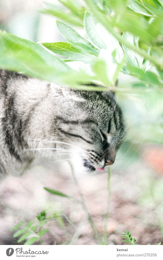 eat grass Environment Nature Plant Grass Bushes Leaf Animal Pet Cat Animal face Pelt Tongue 1 To feed Bright Gray Green Odor lick Tiger skin pattern