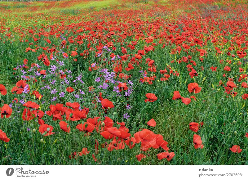 Field with red blooming poppies on a spring day Summer Nature Landscape Plant Flower Grass Leaf Blossom Wild plant Meadow Blossoming Fresh Bright Natural Green