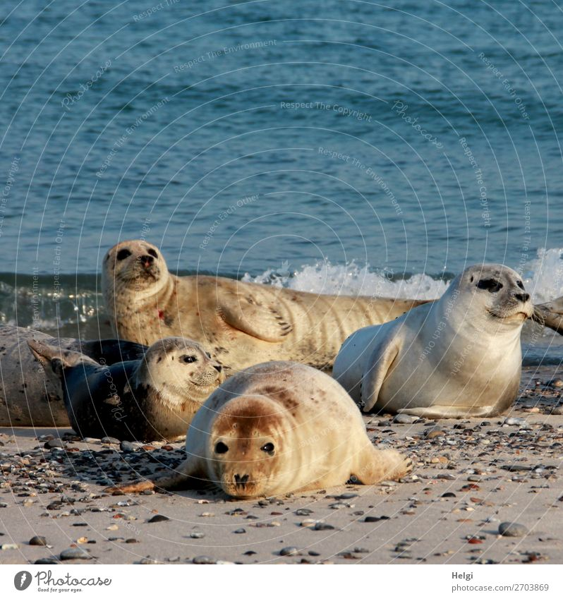 seals ... Environment Nature Animal Water Summer Beautiful weather Coast Beach North Sea Island Helgoland Wild animal Harbour seal Group of animals Observe Lie