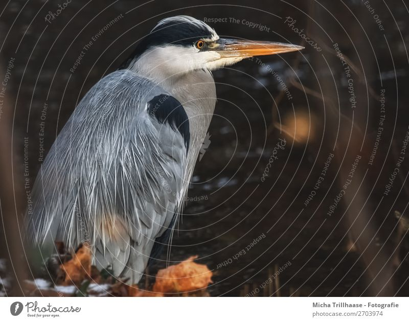 Grey heron at the river Nature Animal Sunlight Leaf River Wild animal Bird Animal face Wing Heron Beak Feather Eyes 1 Observe Glittering Hunting Stand Wait