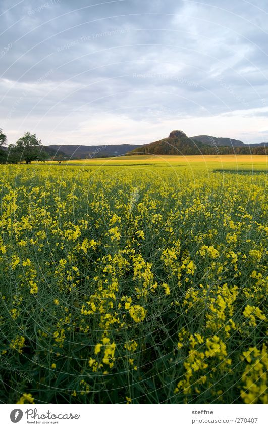 yellow submarine Nature Landscape Sky Plant Agricultural crop Canola Canola field Field Elbsandstone mountains Yellow Idyll Colour photo Multicoloured