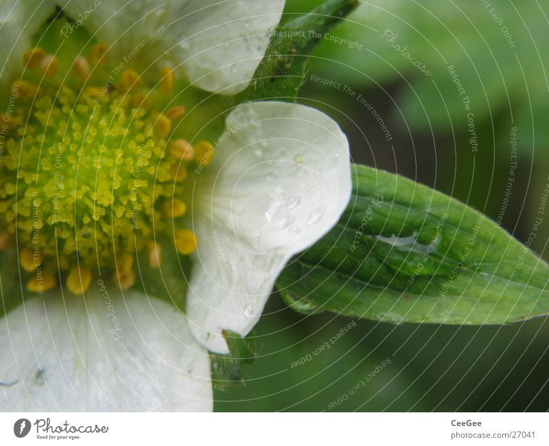 Nature White Flower Green Plant Leaf Blossom Strawberry Pistil Blossom leave