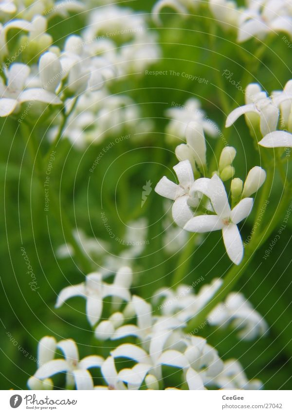 woodruff Plant Flower Blossom Woodruff Blossom leave Leaf White Stalk Green Pistil Nature Macro (Extreme close-up) Close-up Medicinal plant