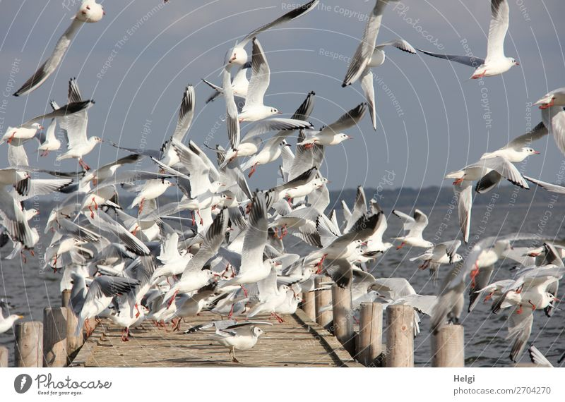 a flock of seagulls flies up excitedly from a wooden jetty by the lake Environment Nature Animal Water Sky Summer Beautiful weather Lake Steinhuder Lake
