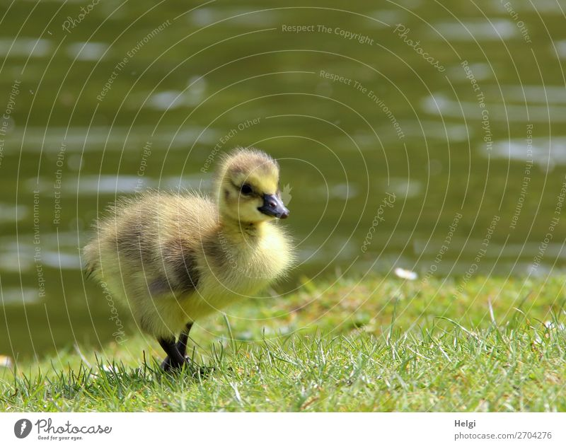 little fluffy gosling running through the grass at the lakeside Environment Nature Plant Animal Water Spring Beautiful weather Grass Park Pond Wild animal Bird