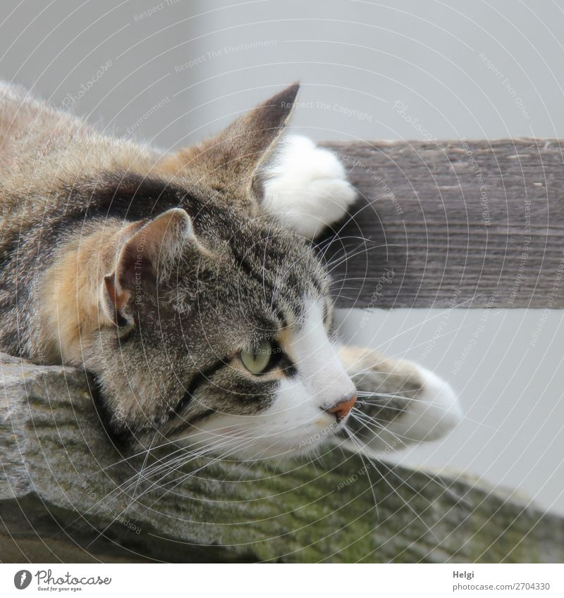 Detail, head and paws of a cat lying on a wooden board Animal Pet Cat 1 Observe Lie Looking Uniqueness natural Curiosity Brown Gray Black White Contentment