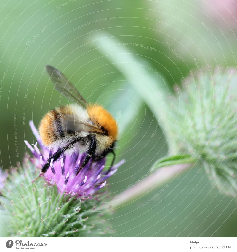 fluffy bumblebee looking for food on a purple thistle flower Environment Nature Plant Summer Flower Blossom Wild plant Meadow Animal Wild animal Bumble bee 1