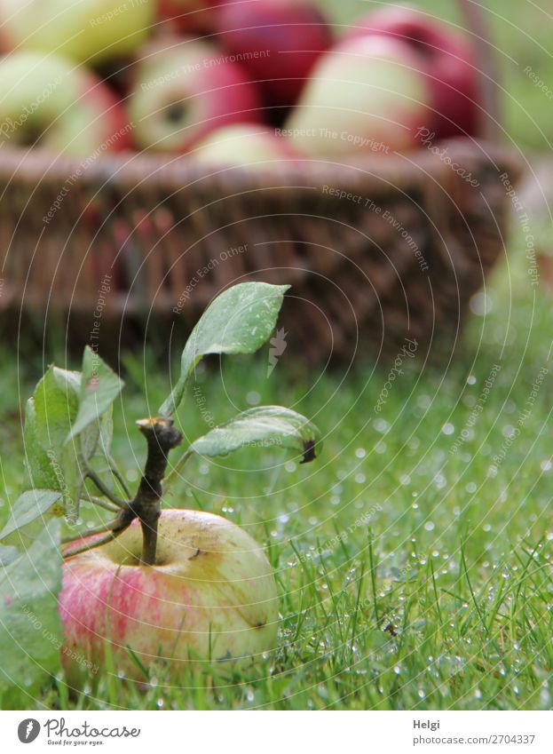 freshly picked apple with stalk and leaves lies in the wet grass, in the background a wicker basket with many apples Food Fruit Apple Nutrition Organic produce