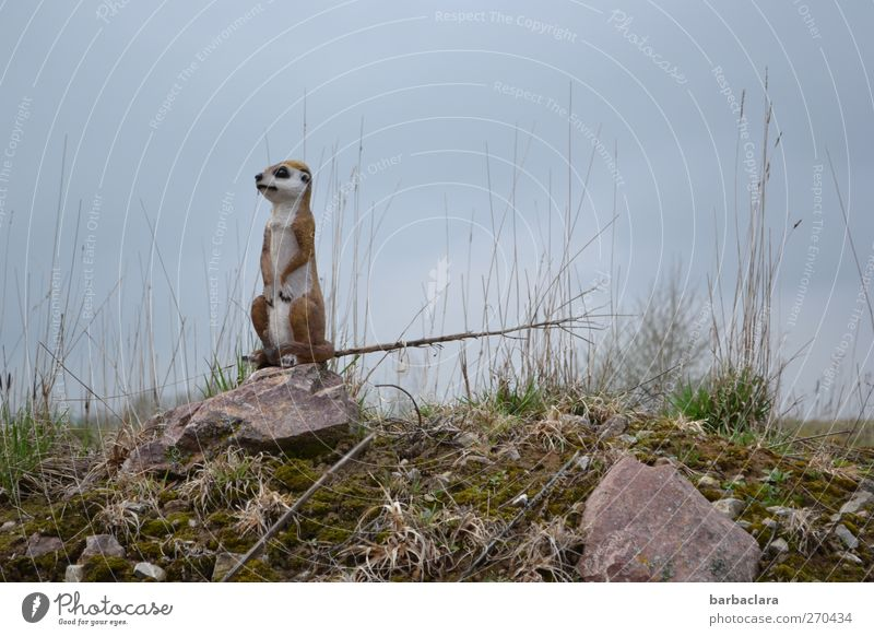 People in sight!!! Nature Landscape Sky Grass Bushes Field Hill Rock Meerkat 1 Animal Stone Observe Looking Stand Tall Astute Joy Love of animals Timidity
