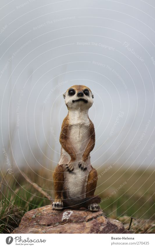 What's this? Animal Meerkat 1 Breathe Observe Growth Wait Exceptional Friendliness Curiosity Cute Beautiful Blue Brown Green White Emotions Self-confident Power