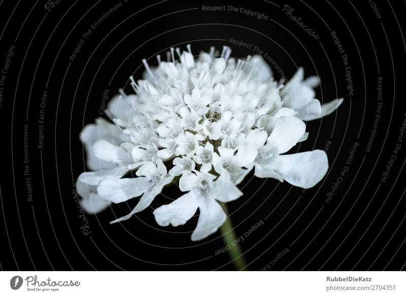 Nature Plant Green White Flower Black Yellow Environment Blossom Cold Growth Elegant Esthetic Blossoming Uniqueness Transience