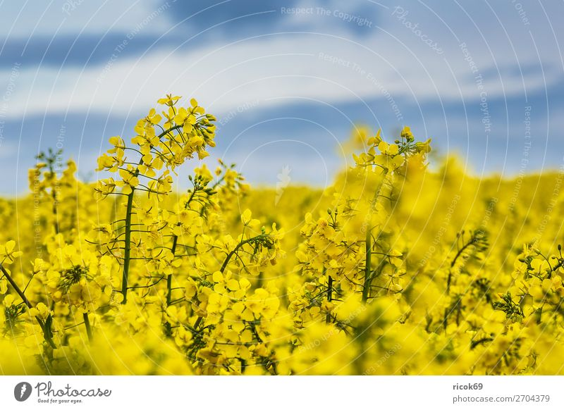 Blossoming rape field in Mecklenburg-Western Pomerania Relaxation Vacation & Travel Tourism Agriculture Forestry Environment Nature Landscape Plant Clouds