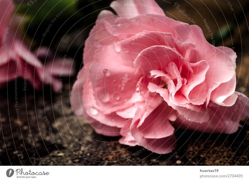 bouquet of pink carnations flowers Elegant Style Design Valentine's Day Art Nature Plant Flower Bouquet Natural Green Pink Love Romance Colour background Floral