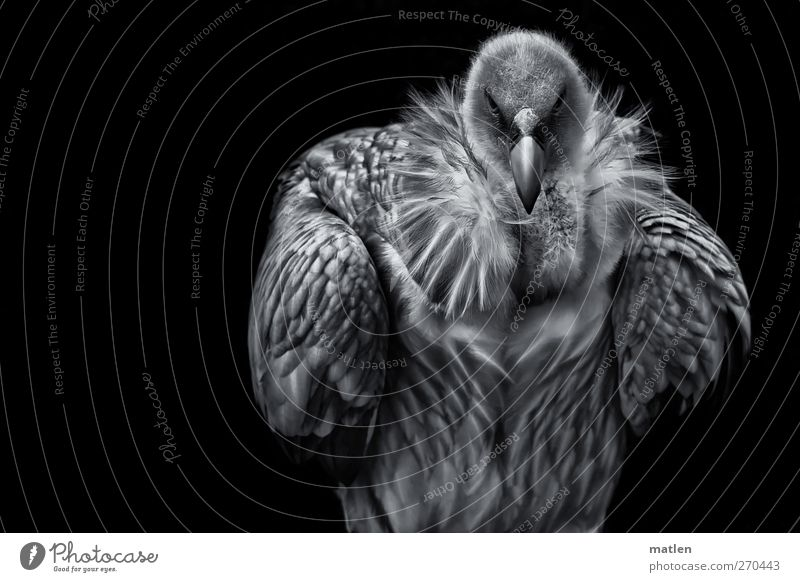 White Animal Black Wild animal Wing Posture Animal face Athletic Vulture