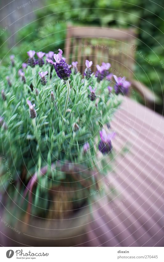Nature Green Plant Leaf Environment Garden Blossom Brown Growth Table Bushes Violet Blossoming Feces Fragrance Lavender