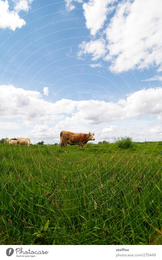 Careful, the cops are coming! Sky Clouds Beautiful weather Grass Meadow Field Farm animal Cow Bull 1 Animal Juicy Pasture Moo Colour photo Exterior shot